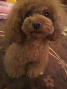 愛犬鈴ちゃん~トイプードル☆ライフスタイル~-2012052319410000.jpg