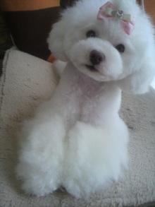 愛犬鈴ちゃん~トイプードル☆ライフスタイル~-2012052516520000.jpg
