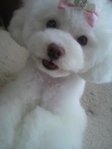 愛犬鈴ちゃん~トイプードル☆ライフスタイル~-2012052516520002.jpg