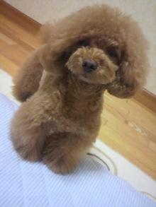愛犬鈴ちゃん~トイプードル☆ライフスタイル~-2012052522310000.jpg