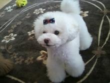 愛犬鈴ちゃん~トイプードル☆ライフスタイル~-2012052608580000.jpg