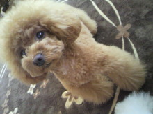 愛犬鈴ちゃん~トイプードル☆ライフスタイル~-2012052608590000.jpg