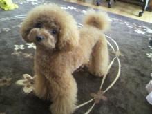愛犬鈴ちゃん~トイプードル☆ライフスタイル~-2012052609000000.jpg