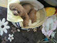 愛犬鈴ちゃん~トイプードル☆ライフスタイル~-2012052613270000.jpg