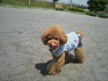 愛犬鈴ちゃん~トイプードル☆ライフスタイル~-2012052812110001.jpg