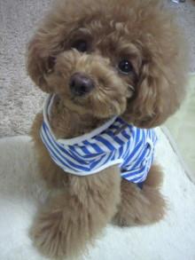 愛犬鈴ちゃん~トイプードル☆ライフスタイル~-2012052811310000.jpg