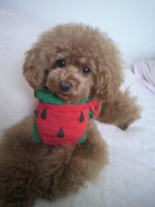愛犬鈴ちゃん~トイプードル☆ライフスタイル~-2012052915590003.jpg
