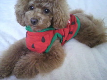 愛犬鈴ちゃん~トイプードル☆ライフスタイル~-2012052915590001.jpg
