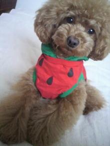 愛犬鈴ちゃん~トイプードル☆ライフスタイル~-2012052916000000.jpg
