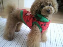 愛犬鈴ちゃん~トイプードル☆ライフスタイル~-2012052916010001.jpg