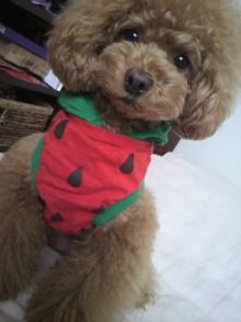 愛犬鈴ちゃん~トイプードル☆ライフスタイル~-2012052916000001.jpg