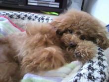 愛犬鈴ちゃん~トイプードル☆ライフスタイル~-2012053115570002.jpg