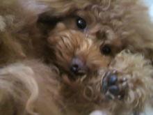 愛犬鈴ちゃん~トイプードル☆ライフスタイル~-2012053115560003.jpg