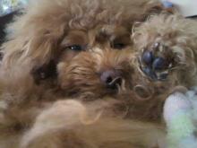 愛犬鈴ちゃん~トイプードル☆ライフスタイル~-2012053115570000.jpg