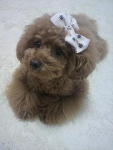 愛犬鈴ちゃん~トイプードル☆ライフスタイル~-2012060110500000.jpg