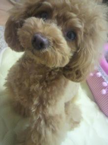 愛犬鈴ちゃん~トイプードル☆ライフスタイル~-2012060110540001.jpg