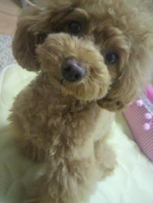 愛犬鈴ちゃん~トイプードル☆ライフスタイル~-2012060110540000.jpg