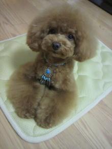 愛犬鈴ちゃん~トイプードル☆ライフスタイル~-2012060213150001.jpg