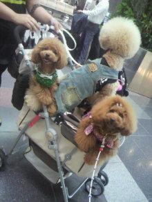 愛犬鈴ちゃん~トイプードル☆ライフスタイル~-2012061817040000.jpg