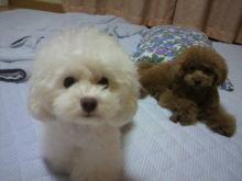 愛犬鈴ちゃん~トイプードル☆ライフスタイル~-2012061822220000.jpg