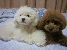 愛犬鈴ちゃん~トイプードル☆ライフスタイル~-2012061822220001.jpg