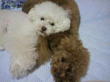 愛犬鈴ちゃん~トイプードル☆ライフスタイル~-2012061822230000.jpg