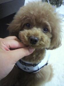 愛犬鈴ちゃん~トイプードル☆ライフスタイル~-2012061513460000.jpg