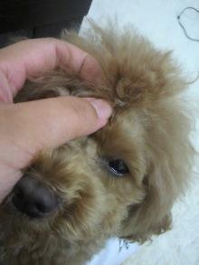 愛犬鈴ちゃん~トイプードル☆ライフスタイル~-2012061513480000.jpg
