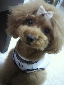 愛犬鈴ちゃん~トイプードル☆ライフスタイル~-2012061513490001.jpg