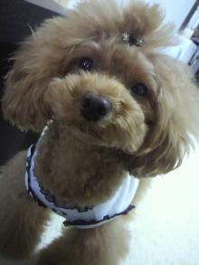 愛犬鈴ちゃん~トイプードル☆ライフスタイル~-2012061513500001.jpg