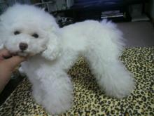 愛犬鈴ちゃん~トイプードル☆ライフスタイル~-2012061915140000.jpg