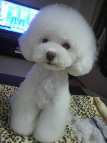 愛犬鈴ちゃん~トイプードル☆ライフスタイル~-2012061916480000.jpg