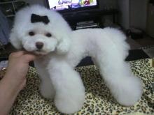 愛犬鈴ちゃん~トイプードル☆ライフスタイル~-2012061916560000.jpg