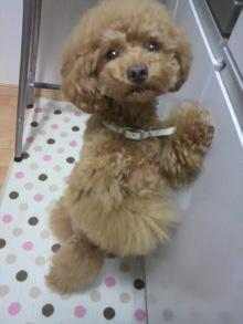 愛犬鈴ちゃん~トイプードル☆ライフスタイル~-2012061222190001.jpg