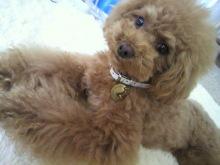 愛犬鈴ちゃん~トイプードル☆ライフスタイル~-2012061114290002.jpg