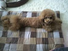 愛犬鈴ちゃん~トイプードル☆ライフスタイル~-2012061114280000.jpg