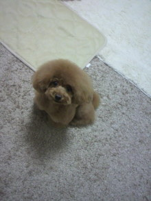愛犬鈴ちゃん~トイプードル☆ライフスタイル~-2012061318140000.jpg