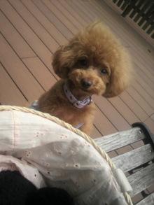 愛犬鈴ちゃん~トイプードル☆ライフスタイル~-2012061412550000.jpg