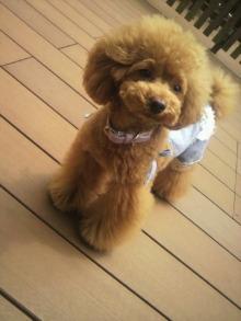 愛犬鈴ちゃん~トイプードル☆ライフスタイル~-2012061412490000.jpg