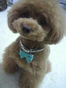 愛犬鈴ちゃん~トイプードル☆ライフスタイル~-2012061610390000.jpg