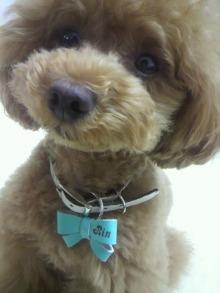 愛犬鈴ちゃん~トイプードル☆ライフスタイル~-2012061610400000.jpg