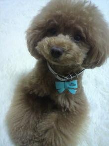 愛犬鈴ちゃん~トイプードル☆ライフスタイル~-2012061610390001.jpg