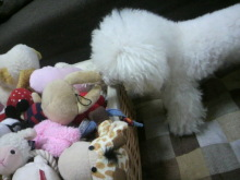 愛犬鈴ちゃん~トイプードル☆ライフスタイル~-2012061914020001.jpg