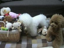 愛犬鈴ちゃん~トイプードル☆ライフスタイル~-2012061914030000.jpg