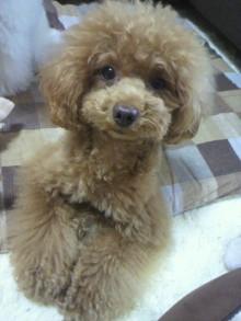愛犬鈴ちゃん~トイプードル☆ライフスタイル~-2012061914030001.jpg
