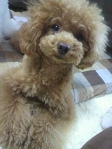 愛犬鈴ちゃん~トイプードル☆ライフスタイル~-2012061914040000.jpg
