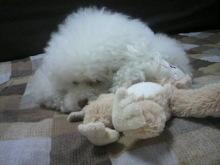 愛犬鈴ちゃん~トイプードル☆ライフスタイル~-2012061913580001.jpg