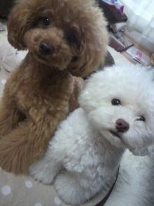 愛犬鈴ちゃん~トイプードル☆ライフスタイル~-2012061914060001.jpg