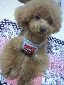 愛犬鈴ちゃん~トイプードル☆ライフスタイル~-2012062117270001.jpg
