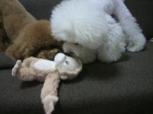 愛犬鈴ちゃん~トイプードル☆ライフスタイル~-2012062218200001.jpg